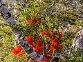 Red mistletoe, Kahurangi National Park, New Zealand 08.jpg