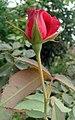 Red rosa at Rajbiraj, Saptari, Nepal (4).jpg
