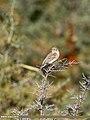 Reed Bunting (Emberiza schoeniclus) (25766713948).jpg