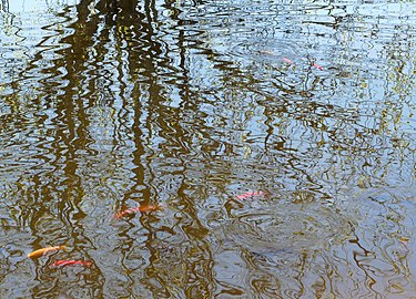 Reflection of a tree in koi pond.jpg