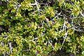 Rhamnus lycioides kz10.jpg