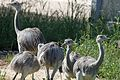 Rheas(not wild) - Flickr - GregTheBusker.jpg