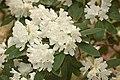 Rhododendron 'Boule de Neige' Flowers.JPG