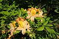 Rhododendron calendulaceum - Arnold Arboretum - DSC06728.JPG