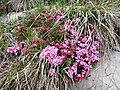 Rhododendron ferrugineum L.jpg