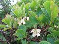 Rhododendron nipponicum 1.JPG