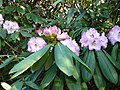 Rhododendron sutchuenense.jpg