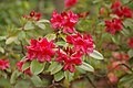 Rhododentron 'Eminent' Swarthmore-Tyler Hybrid Flowers 1.JPG
