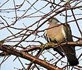 Ringduva Wood Pigeon (13042568293).jpg
