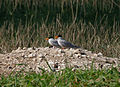 River Tern (Sterna aurantia) near Hyderabad W IMG 4948.jpg