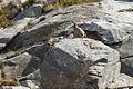 Rock Partridge - Aosta Valley - Italy 5083 (14927329434).jpg