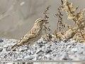 Rock Sparrow (Petronia petronia) (49305288291).jpg
