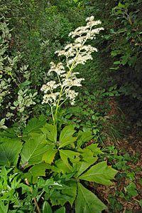 Rodgersia podophylla 4587