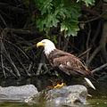 Rogue River Eagle Dunn (23405584519).jpg
