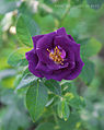Rosa-Rhapsody-in-Blue.jpg