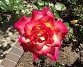 Rosa-rainbowsorbet.jpg