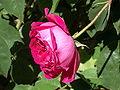 Rosa 'Bourbon Rose'.jpg