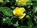 Rosa Arthur Bell 2019-05-29 4120.jpg