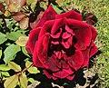 Rosa Crimson Glory Kordes 1935.jpg