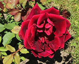 Rosa Crimson Glory Kordes 1935