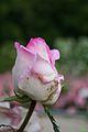 Rosa Gace De monaco - Francia - Capullo (11982228115).jpg