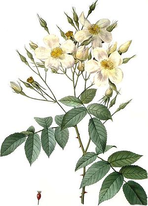 Rosa moschata - Image: Rosa moschata