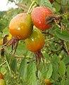 Rosa villosa fruit (10).jpg