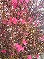 Rosales - Chaenomeles japonica - 3.jpg
