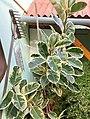 Rosales - Ficus elastica - 4.jpg