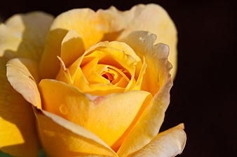 """Rose, """"King's Ronsom"""" - Flickr - nekonomania.jpg"""