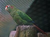 Rose-crowned Parakeet