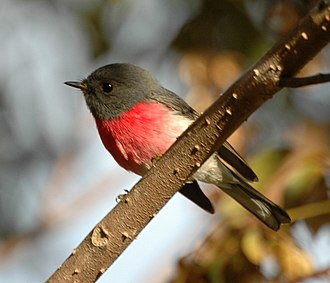 1840 in birding and ornithology - The rose robin was described in 1840 by John Gould