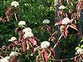 Roter Hartriegel (Cornus sanguinea).jpg