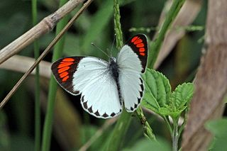 <i>Colotis euippe</i> species of insect
