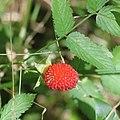 Rubus illecebrosus (fruits s5).jpg