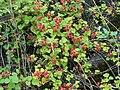 Rubus parvifolius in Kawakamikyo Saga.JPG