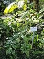 Ruellia solitaria - Botanischer Garten München-Nymphenburg - DSC08083.JPG