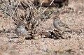 Rufous-winged Sparrow (33846127881).jpg
