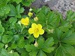 Ruhland, Grenzstr. 3, Golderdbeere im Garten, blühende Pflanzen, Frühling, 01.jpg