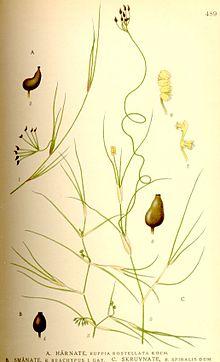 Ruppia rostellata-brachypus-spiralis nf.jpg