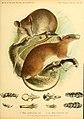 Säugethiere vom Celebes- und Philippinen-Archipel (Taf. VII) (5984634459).jpg