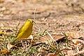 Saffron Finch Canario de Tejado (Sicalis flaveola flaveola) (♂) (13955287919).jpg