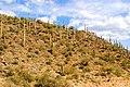Saguaros on the Cleator to Crown King road (16637474089).jpg