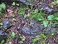 Salamandra, Chemin de la Vallaise di Perloz.JPG