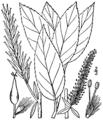 Salix myricoides as S. glaucophylla BB-1913.png