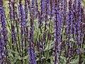 Salvia nemorosa-IMG 0585.jpg