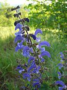 Salvia pratensis 2583.jpg