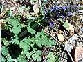 Salvia verbenaca SierraMadrona.jpg