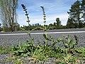 Salvia verbenaca plant2 ST (15938057257).jpg