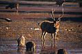 Sambar (Rusa unicolor) stag and wild boars (19974034623).jpg